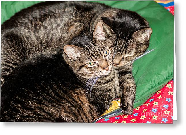 Sue Smith Greeting Cards - Cats Cuddling Greeting Card by Sue Smith