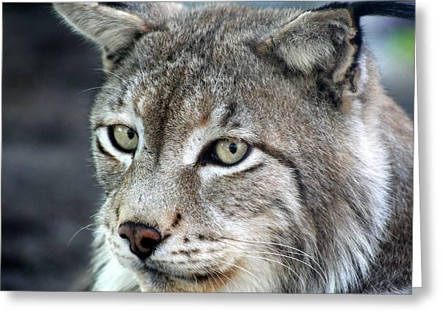 Bobcats Greeting Cards - Cats eyes Greeting Card by Lorah Buchanan