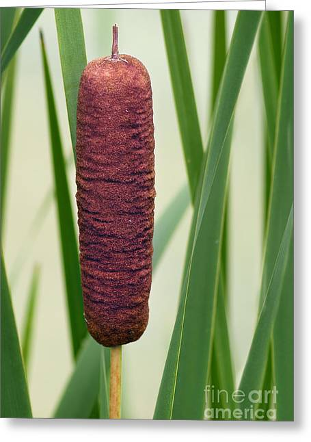 Bulrushes Greeting Cards - Cattail  Greeting Card by Nikolyn McDonald