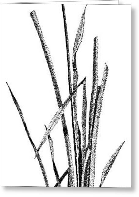 Swamp Drawings Greeting Cards - Cattail Greeting Card by Rob Christensen