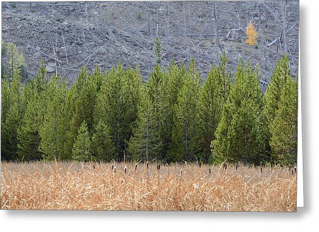Aspens In Fall Greeting Cards - Cattails and Lodgepoles and a Lone Aspen Greeting Card by Bruce Gourley