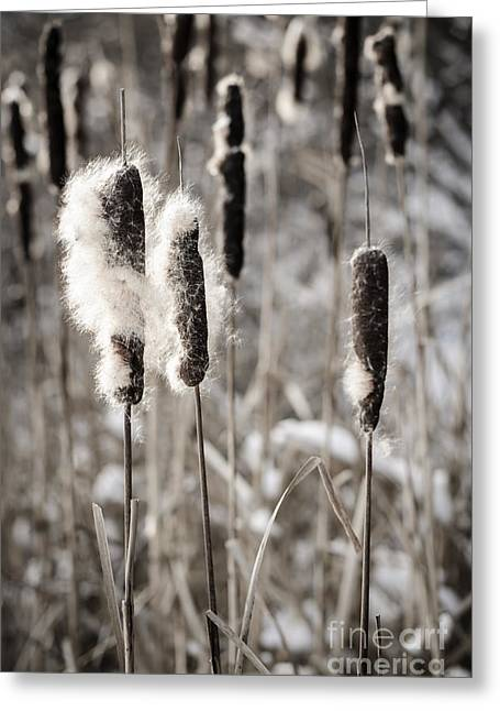 Bulrushes Greeting Cards - Cattails in winter Greeting Card by Elena Elisseeva