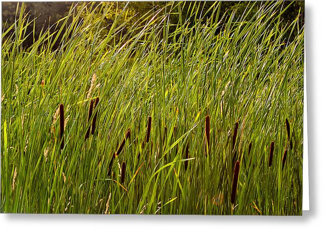 Bulrushes Greeting Cards - Cattails Greeting Card by Steve Harrington