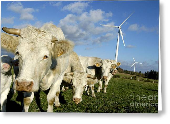 Air Photographs Greeting Cards - Cattle Greeting Card by Bernard Jaubert