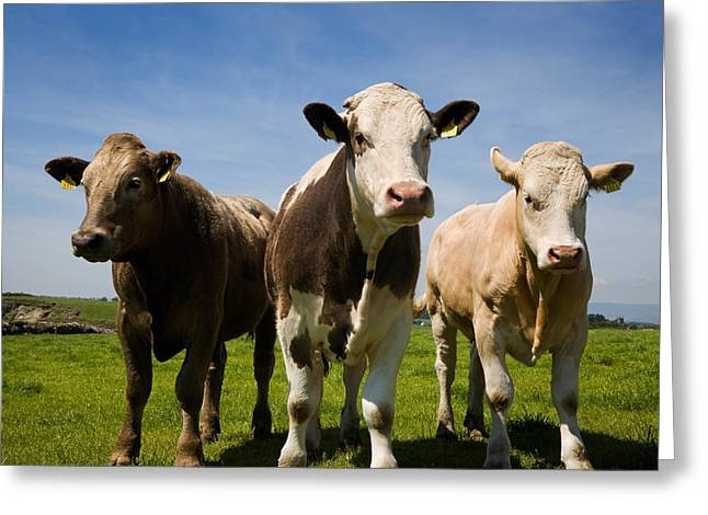Republic Of Ireland Greeting Cards - Cattle, County Waterford, Ireland Greeting Card by Panoramic Images