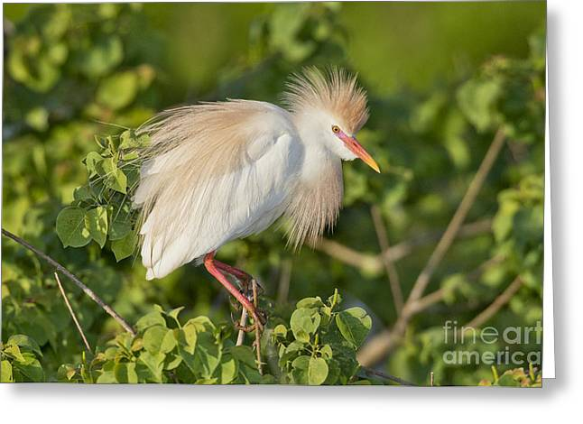 Bubulcus Ibis Greeting Cards - Cattle Egret Greeting Card by Anthony Mercieca