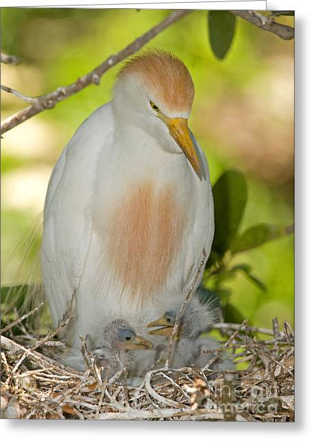 Bubulcus Ibis Greeting Cards - Cattle Egret At Nest With Young Greeting Card by Millard H. Sharp