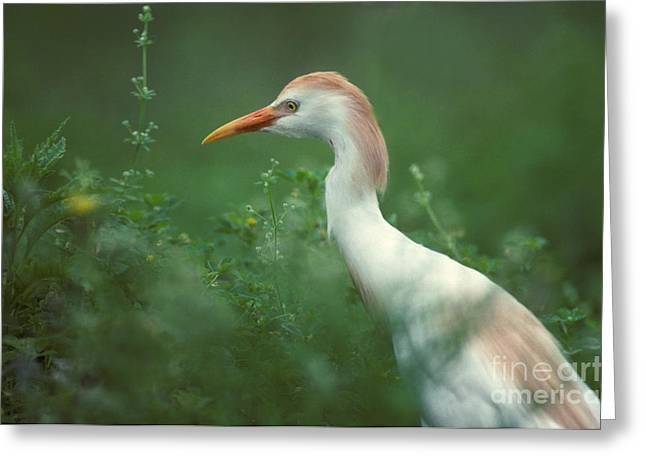 Bubulcus Ibis Greeting Cards - Cattle Egret In Breeding Plumage Greeting Card by Ron Sanford