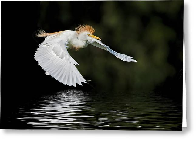 Egret Greeting Cards - Cattle Egret in Flight Greeting Card by Bonnie Barry