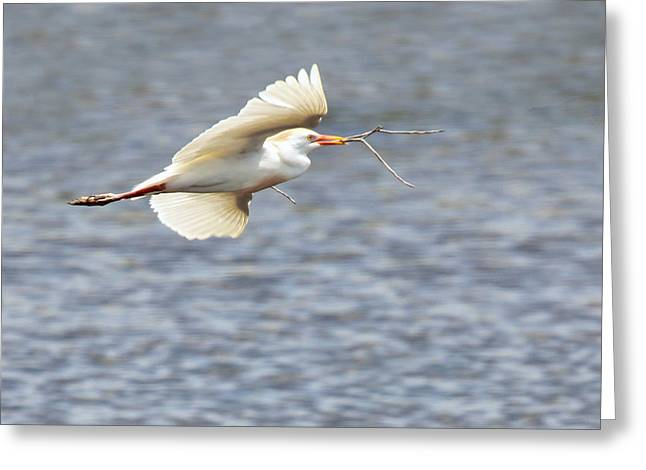 Cattle Egret In Flight Greeting Card by Dawn Currie