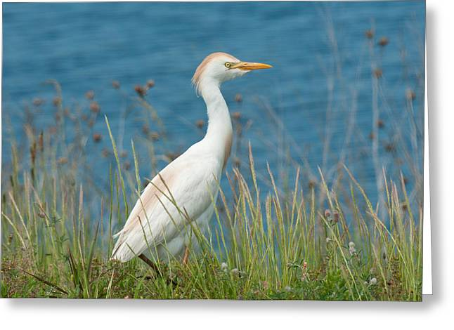 Cattle Egret Greeting Cards - Cattle Egret Greeting Card by Lara Ellis