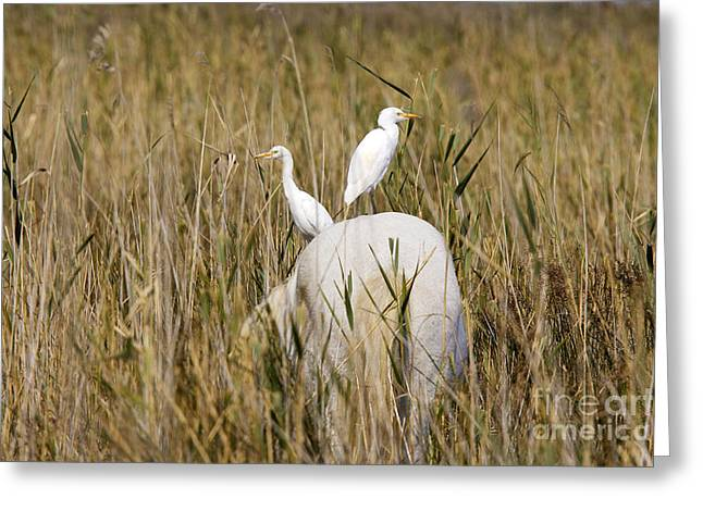 Cattle Egret Greeting Cards - Cattle Egret On Camargue Horse Greeting Card by M. Watson