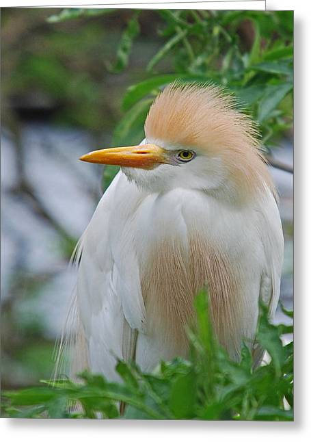 Cattle Egret Greeting Cards - Cattle Egret Greeting Card by Skip Willits