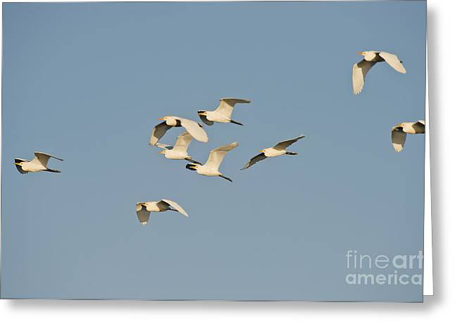 Bubulcus Ibis Greeting Cards - Cattle Egrets Greeting Card by Anthony Mercieca