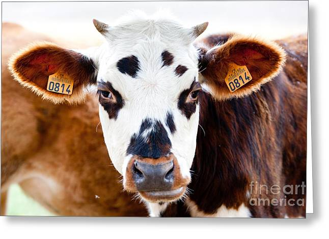 Ear Tags Greeting Cards - Cattle Farm Greeting Card by Burger Phanie