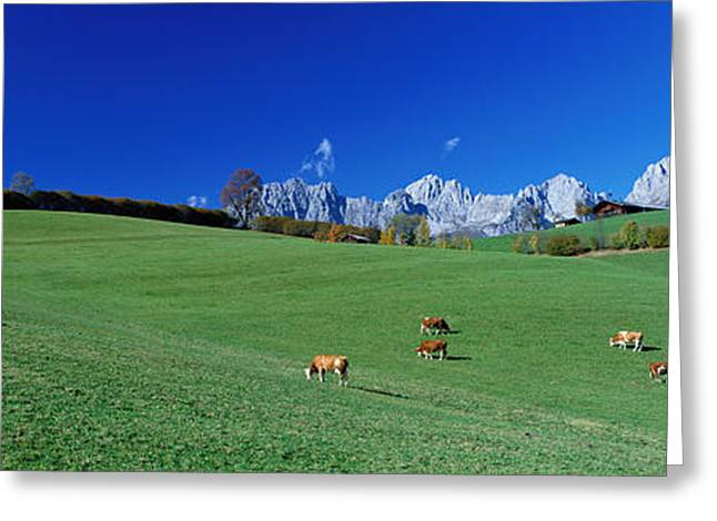Grazing Snow Greeting Cards - Cattle Graze In Alps Wilder Kaiser Greeting Card by Panoramic Images