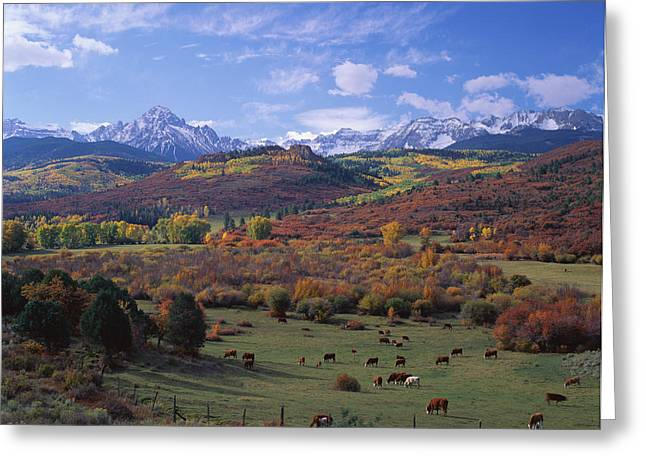 Cattle Grazing San Juan National Forest Greeting Card by Panoramic Images