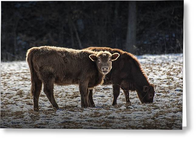 Grazing Snow Greeting Cards - Cattle in a Snow Covered Pasture Greeting Card by Randall Nyhof