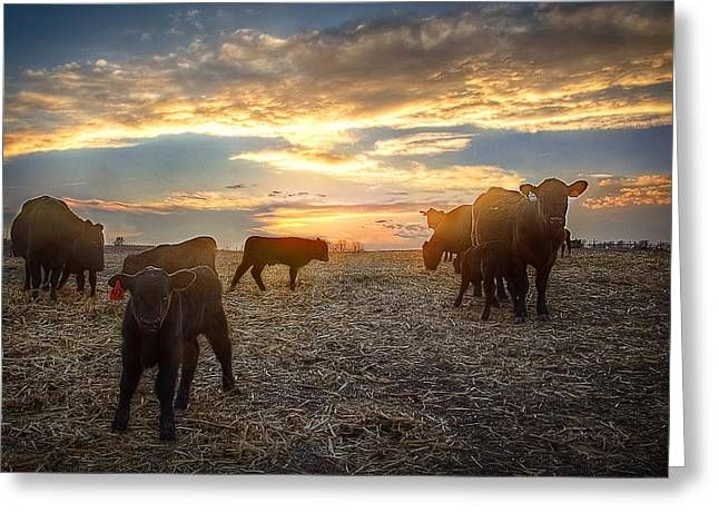 Steer Photographs Greeting Cards - Cattle Sunset 2 Greeting Card by Thomas Zimmerman