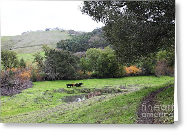 Cattles at Fernandez Ranch California - 5D21066 Greeting Card by Wingsdomain Art and Photography