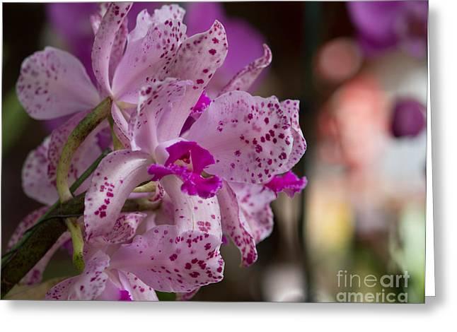 Cattleya Greeting Cards - Cattleya amethystoglossa Greeting Card by Mary Giordano
