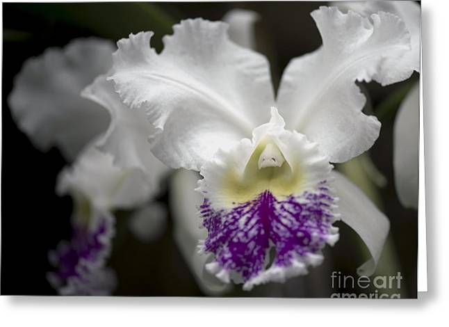 Catherine White Photographs Greeting Cards - Cattleya Catherine Patterson Full Bloom Greeting Card by Terri Winkler