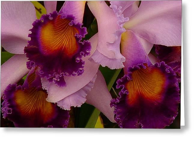 Cattleya Greeting Cards - Cattleya Frills Greeting Card by Blair Wainman