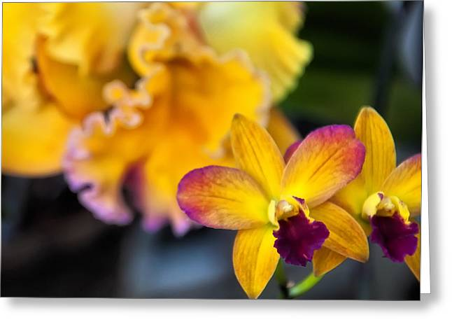 Cattleya Greeting Cards - Cattleya Orchid Greeting Card by Chris Flees