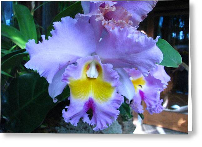 Cattleya Greeting Cards - Cattleya Orchid Greeting Card by Chris Trabant