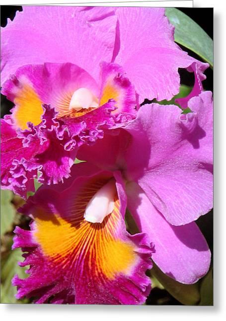 Cattleya Greeting Cards - Cattleya Twins Greeting Card by Susan Duda