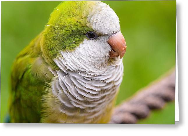 Monk Parakeet Greeting Cards - Caturrita - Myiopsitta monachus Greeting Card by Vinicios De Moura