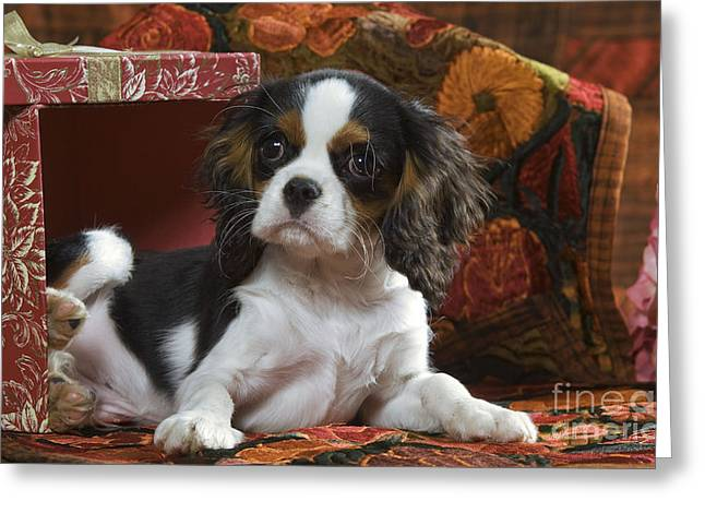 Toy Dog Greeting Cards - Cavalier King Charles Puppy Greeting Card by Jean-Michel Labat
