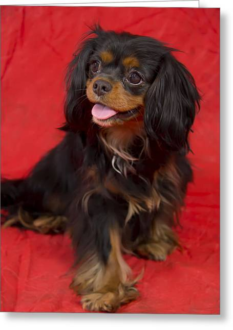 Recently Sold -  - Puppy Digital Art Greeting Cards - Cavalier King Charles Spaniel Portrait Greeting Card by Daphne Sampson