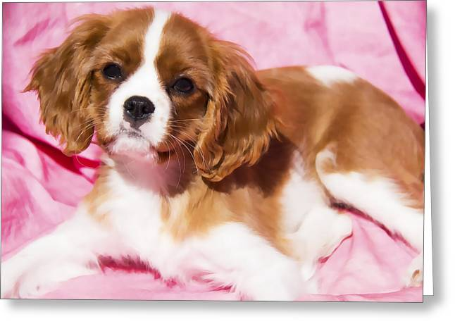 Puppy Digital Greeting Cards - Cavalier King Charles Spaniel Puppy Greeting Card by Daphne Sampson