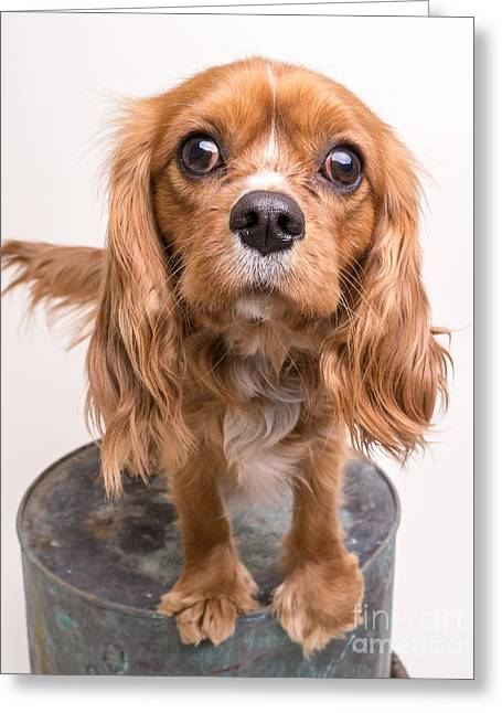 Spaniel Greeting Cards - Cavalier King Charles Spaniel Puppy Greeting Card by Edward Fielding