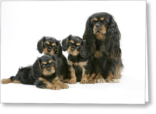 Toy Dog Greeting Cards - Cavalier King Charles Spaniels Greeting Card by John Daniels