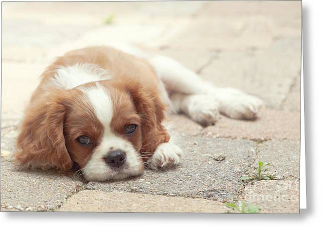 Cavalier Puppy Greeting Card by Kay Pickens