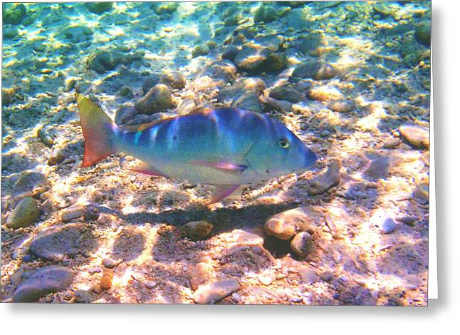 Striped Marlin Greeting Cards - Cayman snapper Greeting Card by Carey Chen