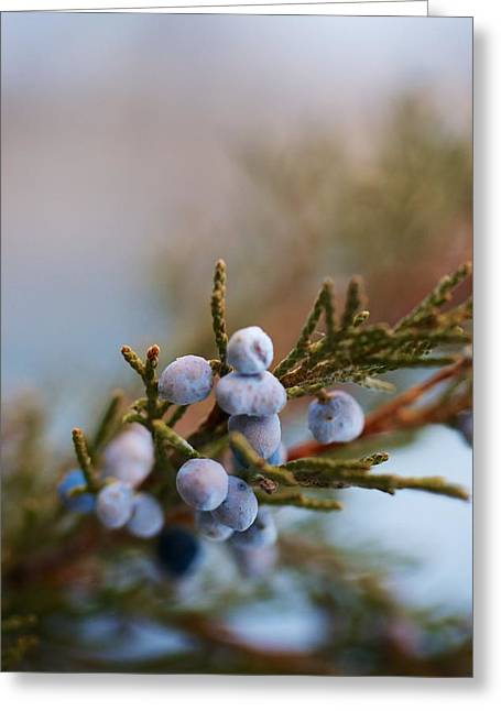 Berries Framed Prints Greeting Cards - Cedar Berries Greeting Card by Kevin Bone
