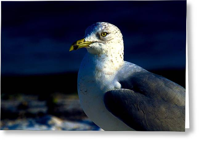 Cedar Key Greeting Cards - Cedar Gull Greeting Card by Jeff Kurtz