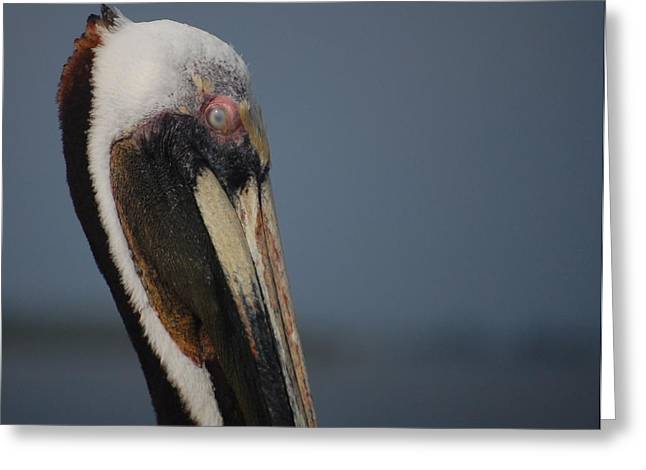 Cedar Key Greeting Cards - Cedar Key Brown Pelican  Greeting Card by John Stokes