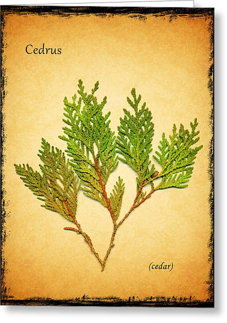 Cedar Tree Greeting Cards - Cedar Greeting Card by Mark Rogan