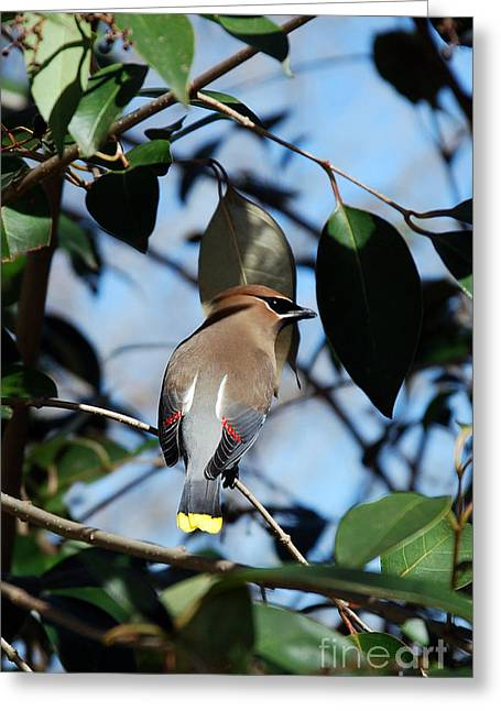Kinds Of Birds Greeting Cards - Cedar Portrait Greeting Card by Skip Willits