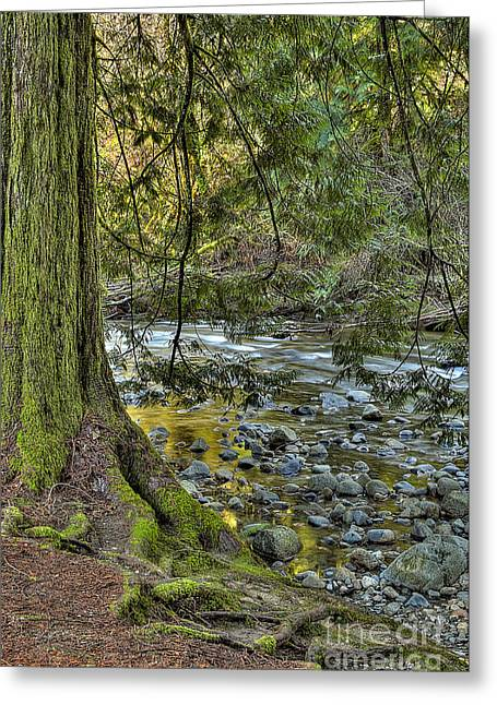 Tree Roots Greeting Cards - Cedar Tree by Kanaka Creek Greeting Card by Sharon  Talson