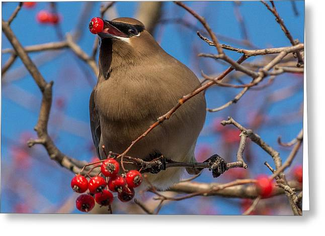 Cedar Wax Wing Greeting Card by Chris Harbeck