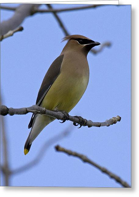 Central Illinois Greeting Cards - Cedar Waxwing 2 Greeting Card by Eric Mace