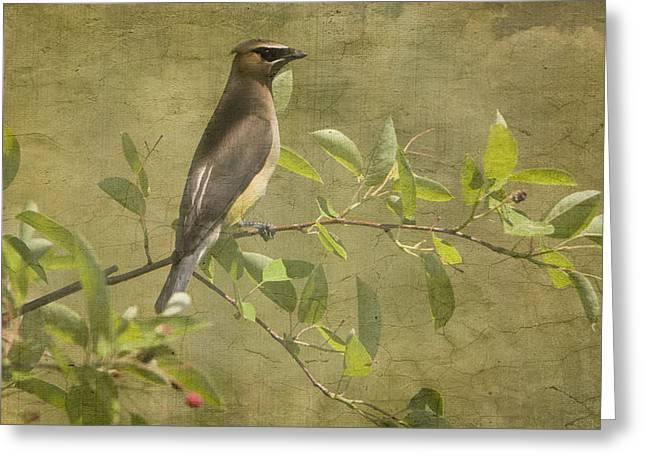 Feeding Birds Greeting Cards - Cedar Waxwing Berry Pickin  Greeting Card by Betty  Pauwels