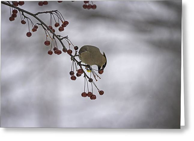 Cedar Waxwings Greeting Cards - Cedar Waxwing Eating Berries 1 Greeting Card by Thomas Young