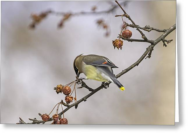 Cedar Waxwing Greeting Cards - Cedar Waxwing Eating Berries 12 Greeting Card by Thomas Young