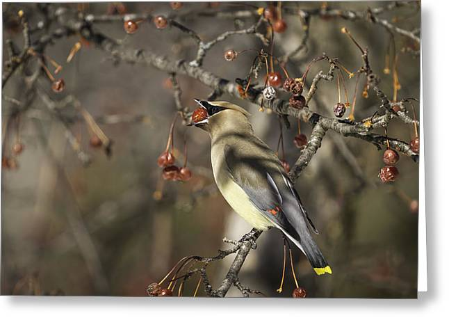 Cedar Waxwings Greeting Cards - Cedar Waxwing Eating Berries 6 Greeting Card by Thomas Young